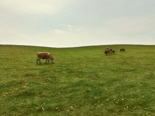 vaci pe camp
